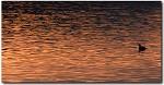 (c) 2010 - Strandbad Klagenfurt. - Bild zeigt: eine Ente am Wörthersee im Sonnenuntergang pressefotos, sportfoto, sportfotos, kärnten, kaernten, pressefoto, oskar, höher, wolfgang, jannach, sport, wirtschaft, kultur, politik, innenpolitik, außenpolitik, lokal, chronik, fotos, fotografie, fotographie, canon, eos, 1d, mark IV, mark 4, fotopool, powerpixx, höherfoto, hoeherfoto, klagenfurt, villach, wolfsberg, spittal, feldkirchen, völkermarkt, voelkermarkt, lienz, osttirol, hermagor, archiv, fotoarchiv, photo, photoarchiv, kleine, zeitung, kleinzeitung, ktz, kärntner tages zeitung, kärntner woche, kärntner, woche, kronen zeitung, krone, kronen, zeitung, sportfotographie, sportfotografie, kurier, kärntner monat, monatsmagazin, tageszeitung, wochenzeitung, gratiszeitung, fußball, fussball, eishockey, icehockey, tennis, basketball, handball, volleyball, beachvolleyball, schi, ski, ski alpin, ski nordisch, schi nordisch, nordisch, langlaufen, schispringen, skispringen, biathlon